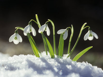 A delightful snowdrop. This snowdrop is delightful.
