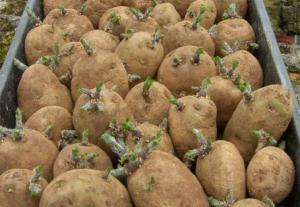 veg_potato_chitted