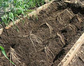 _asparagusplantingsm