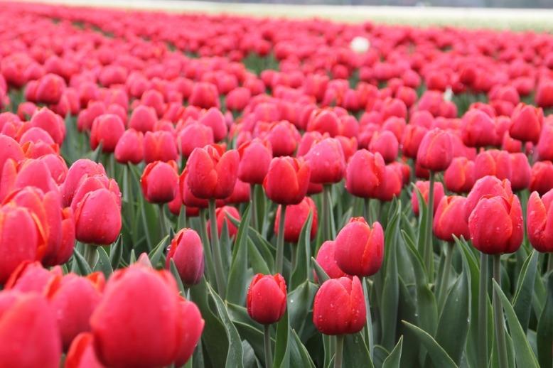 tulip-975975_960_720