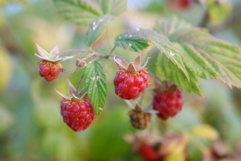 Wild_raspberries_close-up.jpg
